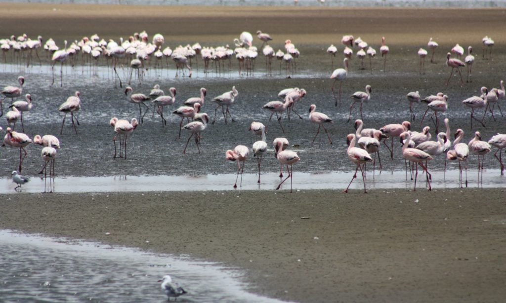 Flamingos at Walvis Bay